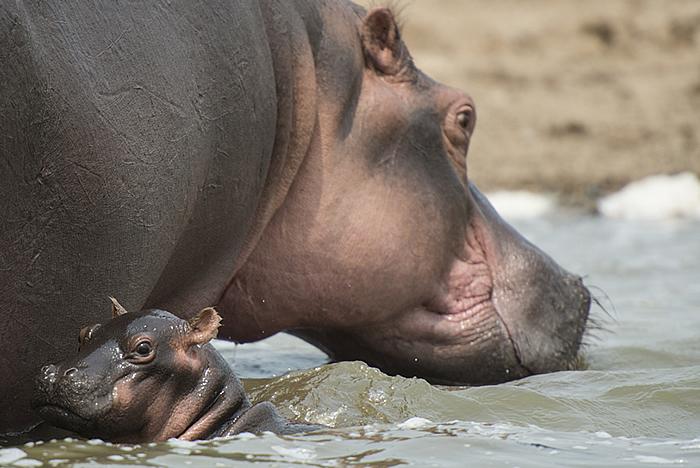 Baby Hippo Dies